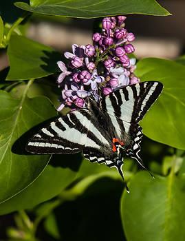 Lara Ellis - Zebra Swallowtail On Lilac