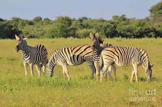 Hermanus A Alberts - Zebra Symmetry and Arrangement