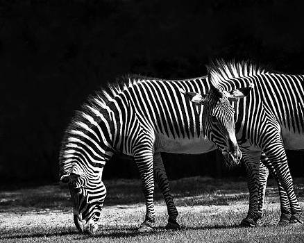 Zebra Unique Patterns by Diane Dugas