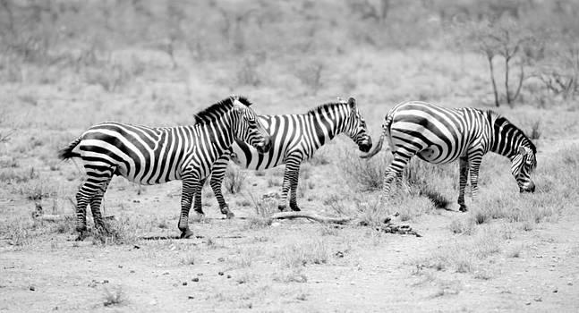 Zebras by Angel Sosa