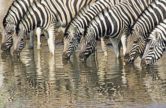 Dennis Cox - Zebras at water hole
