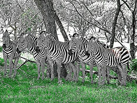Zebras by Kathy Churchman