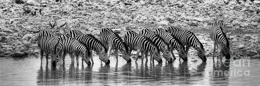 Zebras on a Waterhole by Juergen Klust
