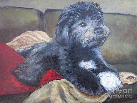 Zico the Havanese by Vivian Haberfeld