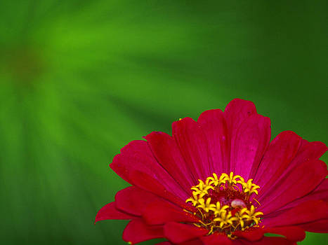 Zinnia and a Green Star by Monica Veraguth