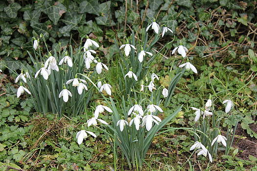 Joseph Doyle -  Beautiful  Snowdrops heralds of Spring.