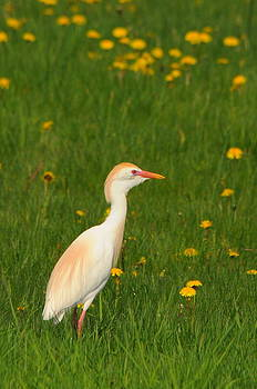 Cattle Egret In Dandelions by Dick Todd