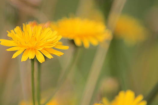 Dandelions by Karen Grist