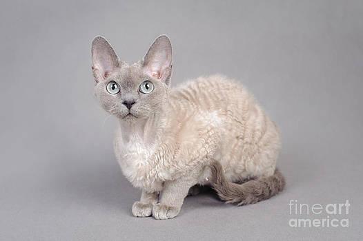 Waldek Dabrowski -  Devon Rex cat