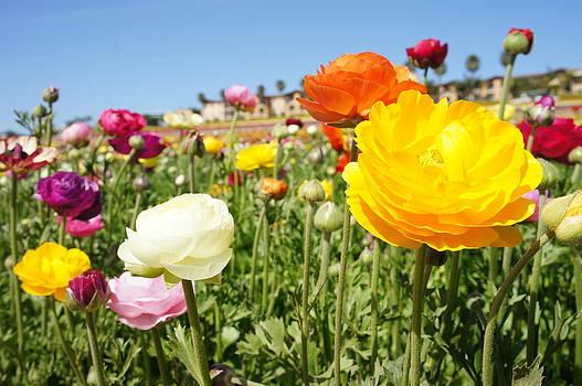 Field of beauty  by Joyful  Events