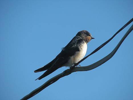Joseph Doyle -  Fledgling Swallow awaiting  migration