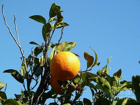 Juicy Orange basking in the sun by B Thomas