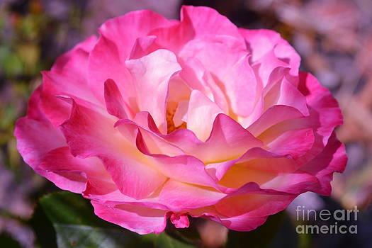 Pink Rose by Saifon Anaya