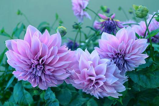 The  Pink Dahlia-flower  by Saifon Anaya
