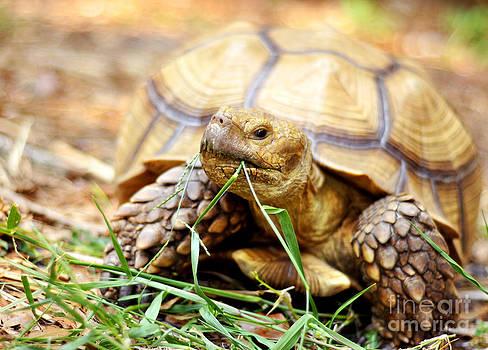 Rebecca Brittain -  Tortoise Munching Grass