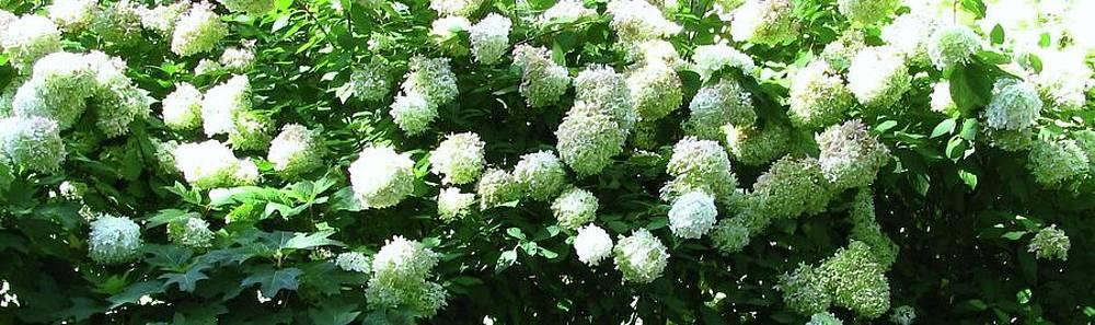 Tammy Bullard -  White Hydrangeas