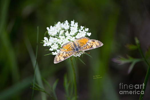Butterfly on white flower by TommyJohn PhotoImagery LLC