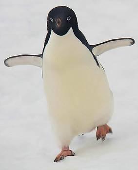 Adelie Penguin 26 by David Barringhaus
