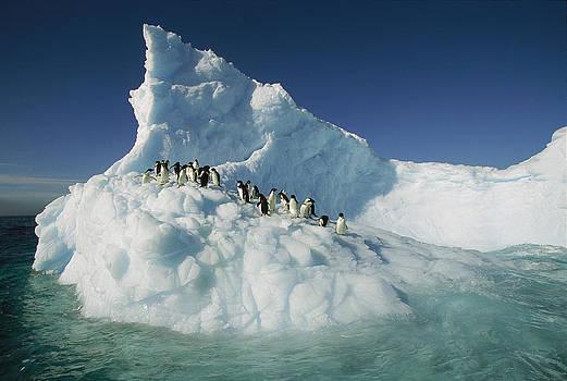 Colin Monteath - Adelie Penguin Pygoscelis Adeliae Group