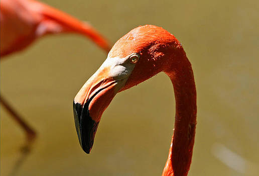 American Flamingo by Larry Parker