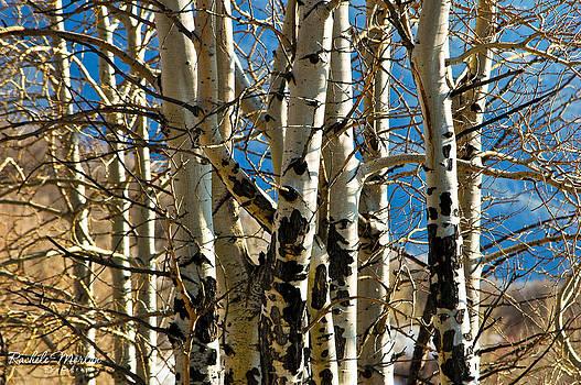 Aspen Trees by Rachele Morlan