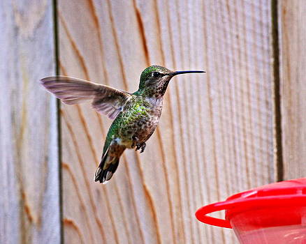 Backyard Hummer by Daryl Hanauer
