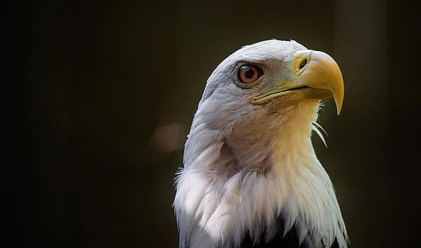 Bald Eagle by Robert Mirabelle