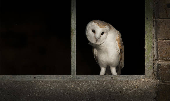 Barn Owl in Window by Andy Astbury