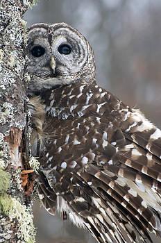 Barred Owl by Cheryl Cencich