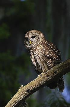 Barred Owl by Larry Lynch