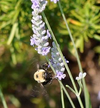 Bee and Lavender by Terri Albertson