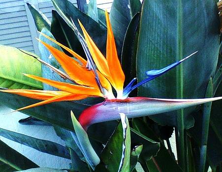 Shan Ungar - Bird of Paradise