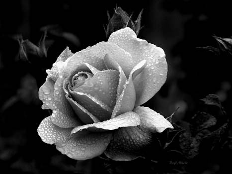 Black and White Rose by Boyd Miller