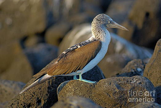 Sami Sarkis - Blue-footed Booby