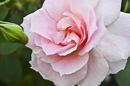 Blush by Teresa Dixon