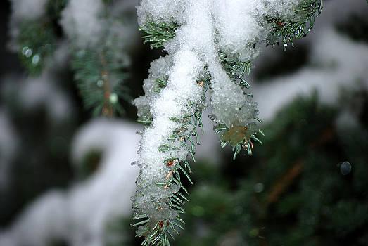 Harvey Barrison - Bokeh of Evergreen in Snow