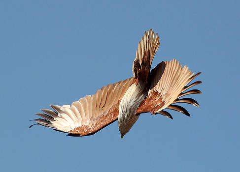Brahminy Kite in flight by Sandeep Gangadharan