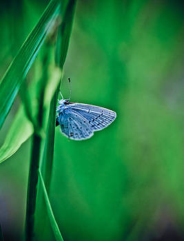 Butterfly blue by Tamara Hamula