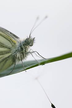 Butterfly dandelion by Falko Follert