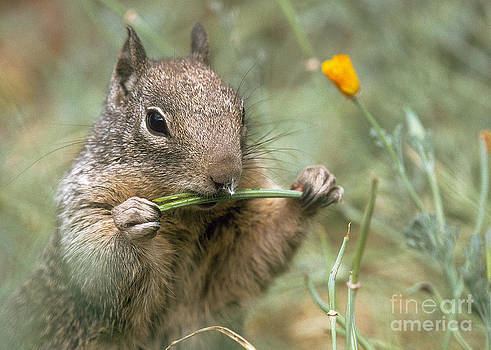 California Ground Squirrel by Doug Herr