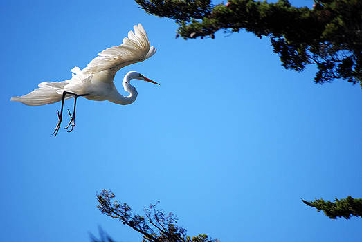 Harvey Barrison - Carmel Egret
