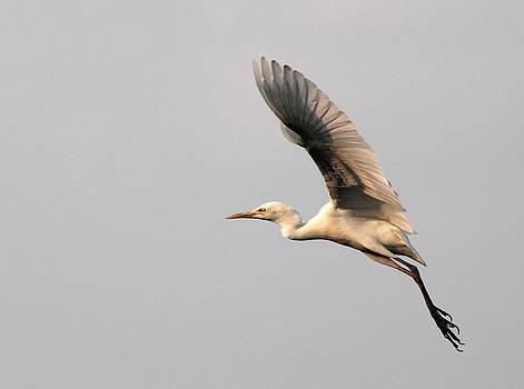 Cattle Egret in flight by Sandeep Gangadharan