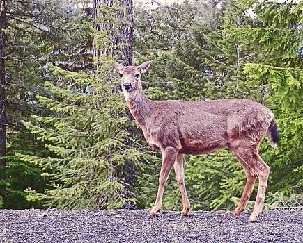 Columbian Blacktail Deer by Seth Shotwell