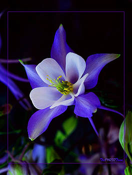 Columbine flower by Tri Tran