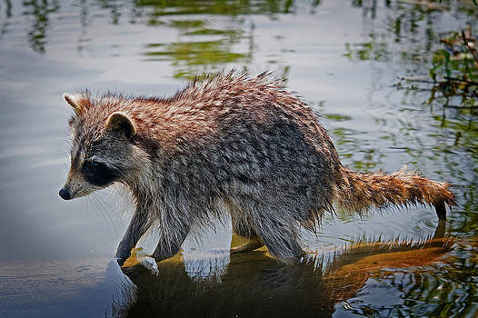 Coon by Roger Phipps