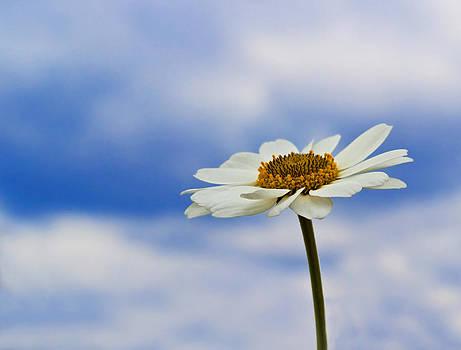 Daisy Daisy by Bel Menpes
