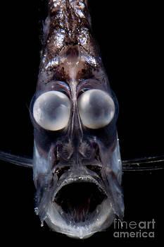 Dante Fenolio - Deep Sea Hatchetfish