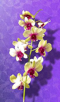 Dendrobium by Brian Damkjer