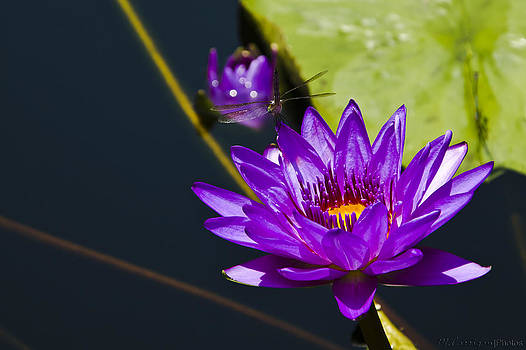 Dragonfly on Lily by Michael Carrigan