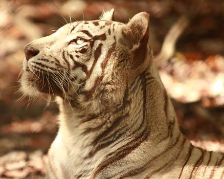 Dreaming Tiger by Don Krajewski